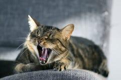 Funny portrait of yawning cat lying on grey sofa in sunlight, it looks like animal scream, cute tabby portrait. In sunlight Royalty Free Stock Image