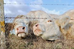 Funny portraits of cows Stock Images