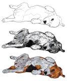 Funny pose of beagle Stock Image
