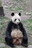 Funny Pose of Playful Panda,  , China stock photos