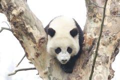 Funny Pose of Playful Panda, Wolong Panda Base , China royalty free stock photos