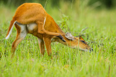 Funny position of Barking deer Stock Images