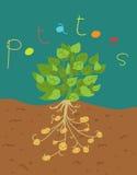Funny potatoes. Illustration of funny potatoes plant Stock Image
