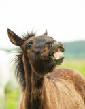 Funny pretty little  foal in field Stock Image