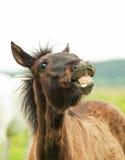 Funny pretty little  foal in field Stock Image