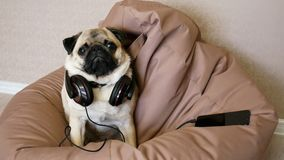 Funny pug dog in big headphones listening to music lying in a bag chair.  stock footage