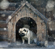 Funny pug dog in the dog Royalty Free Stock Images