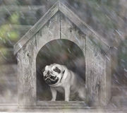 Funny pug dog in the dog house Royalty Free Stock Photos