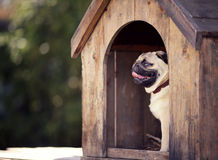 Funny pug dog in the dog house Stock Photo