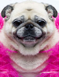 Funny pug dog face. Close up photograph of a funny old pug dog face Stock Photo