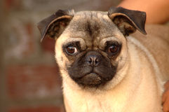 Funny Pug dog face. Outdoor portrait of a little pug dog with cute expression in the face Royalty Free Stock Photography