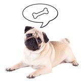 Funny pug dog lying and thinking about food isolated on white Royalty Free Stock Images
