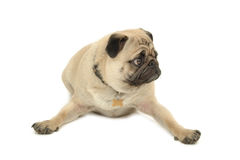 Funny Pug dog is resting Royalty Free Stock Photo