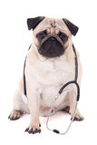 Funny pug dog with stethoscope isolated on white Royalty Free Stock Photography