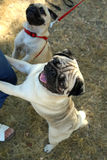 Funny pug dogs. In the autumn park, outdoor royalty free stock photography