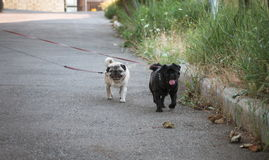 Funny pug dogs on the walk outdoors Royalty Free Stock Image