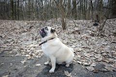 Funny Pug Royalty Free Stock Photo
