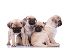 Funny pug group of four playing together. On white background, with one of them in the middle leaning on the other two Royalty Free Stock Photography