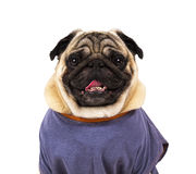 Funny pug portrait Royalty Free Stock Photo