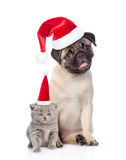 Funny pug puppy sitting and tiny scottish cat in red christmas h Royalty Free Stock Photography