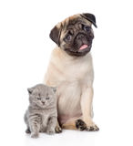 Funny pug puppy sitting with tiny scottish cat together. isolated Stock Photography
