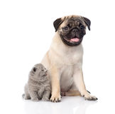 Funny pug puppy sitting with tiny scottish cat together. isolated on white Stock Photos