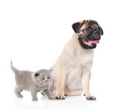 Funny pug puppy sitting with tiny scottish cat together. isolated on white Royalty Free Stock Photography