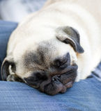 Funny pug puppy sleeps Stock Photography