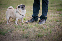Funny Pug Royalty Free Stock Photo