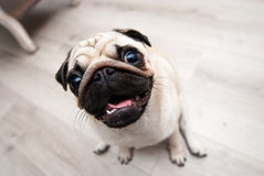 Funny pug snout. Fish eye. Funny pug snout. Soft Focus. Distorted, ridiculous proportions. Fish eye stock images