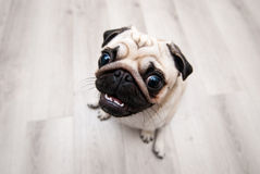 Funny pug snout. Fish eye. Funny pug snout. Soft Focus. Distorted, ridiculous proportions. Fish eye stock image