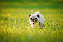 Funny Pug Stock Photos