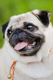 Funny Pug Royalty Free Stock Images