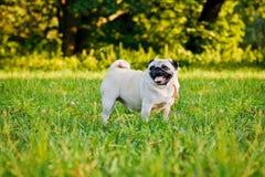Funny Pug Royalty Free Stock Photos