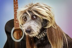 Funny Punk Rock Star Dog. Funny punk rock dog with guitar wearing a mullet hairstyle wig and spiked collar royalty free stock photo