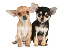 Funny puppies chihuahua (2 months) Royalty Free Stock Photography