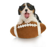 Funny puppy. Cavalier king charles spaniel with silly expression on stuffed football Stock Images