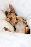 Funny puppy. Small russian toy terrier lay up a paunch on white pillow Royalty Free Stock Images