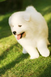Funny puppy. White puppy in the park with smiling face Royalty Free Stock Photos