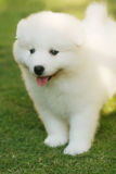 Funny puppy. White puppy in the park with smiling face Stock Image