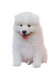 Funny puppy. White puppy with smiling face in white background Stock Image