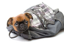 Funny puppy in a backpack Royalty Free Stock Images