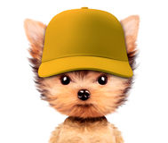 Funny puppy in baseball hat isolated on white Royalty Free Stock Images