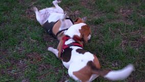 Funny puppy beagle play wrestling with adult dog, tumble on grass Active rollick fight, dogs open jaw, tumble and use. Funny puppy beagle play wrestling with stock footage