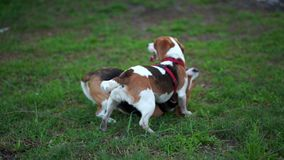 Funny puppy beagle play wrestling with adult dog, tumble on grass Active rollick fight, dogs open jaw, tumble and use
