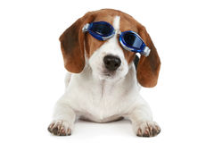 Funny puppy in blue glasses. On a white background Royalty Free Stock Images