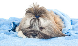 Funny puppy with a blue towel Stock Images