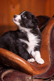 Funny puppy border collie sitting on a saddle for a horse and looking up Stock Image