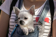 Funny puppy in the bosom of the girl Royalty Free Stock Photos