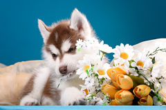 Funny puppy with a bouquet of flowers Royalty Free Stock Image